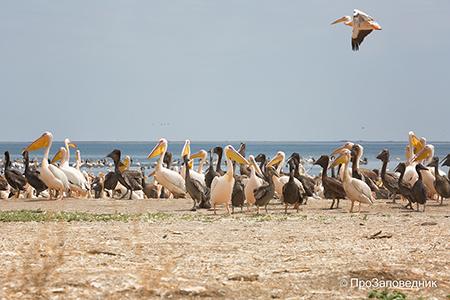 Розовые пеликаны и другие обитатели Маныч-Гудило