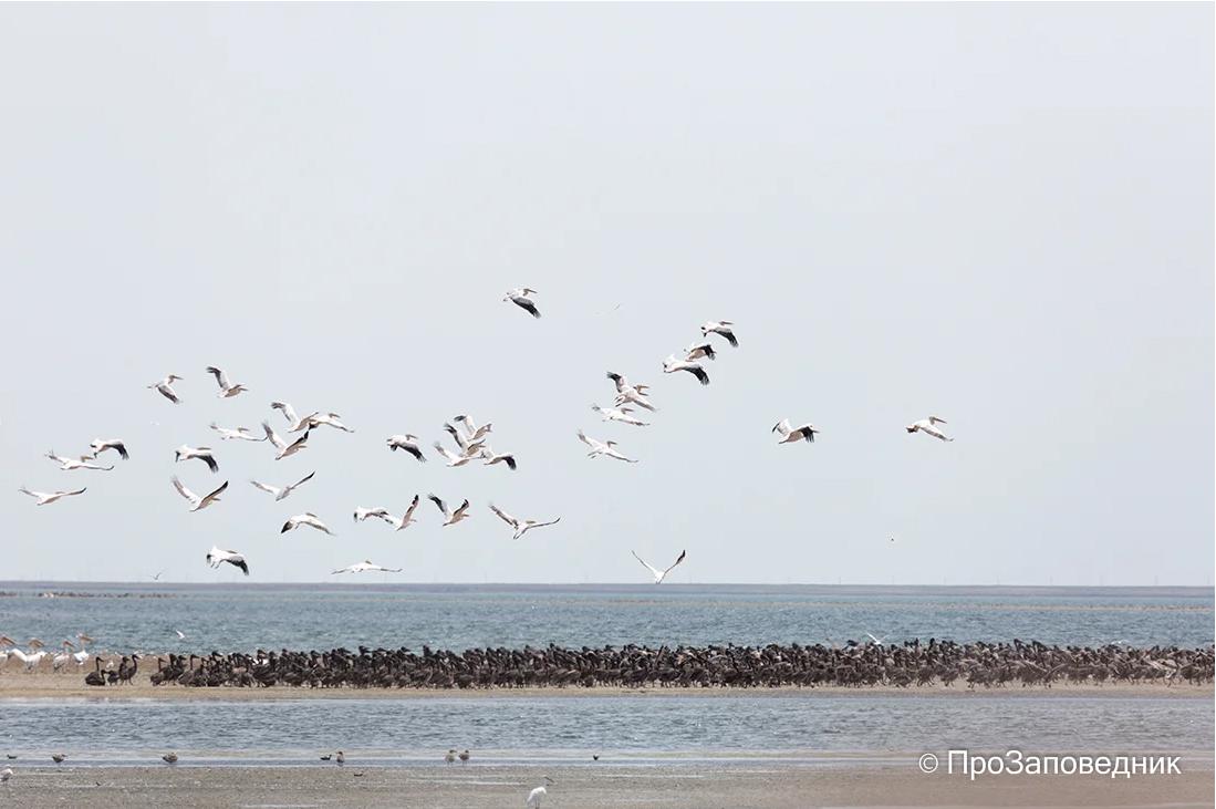 """Заповедник """"Черные земли"""". Розовые пеликаны на озере Маныч-Гудило"""