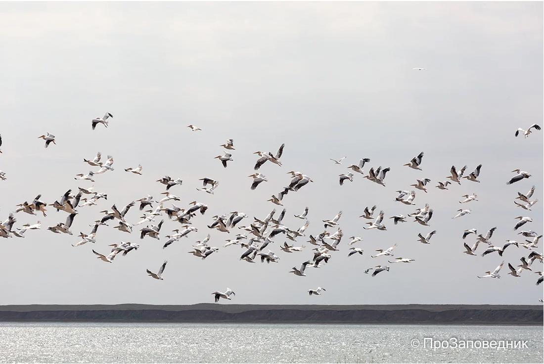 """Заповедник """"Черные земли"""". Пеликаны на озере Маныч-Гудило"""