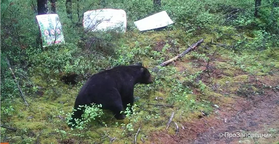 Медведь. Кадр с фотоловушки заповедника