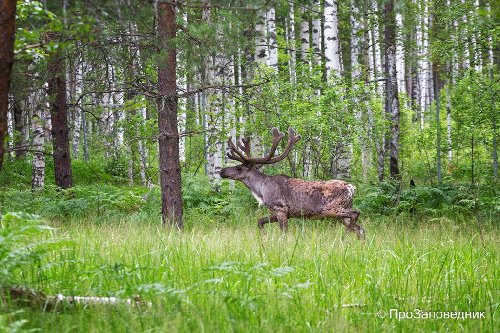 Керженский заповедник. Северный лесной олень