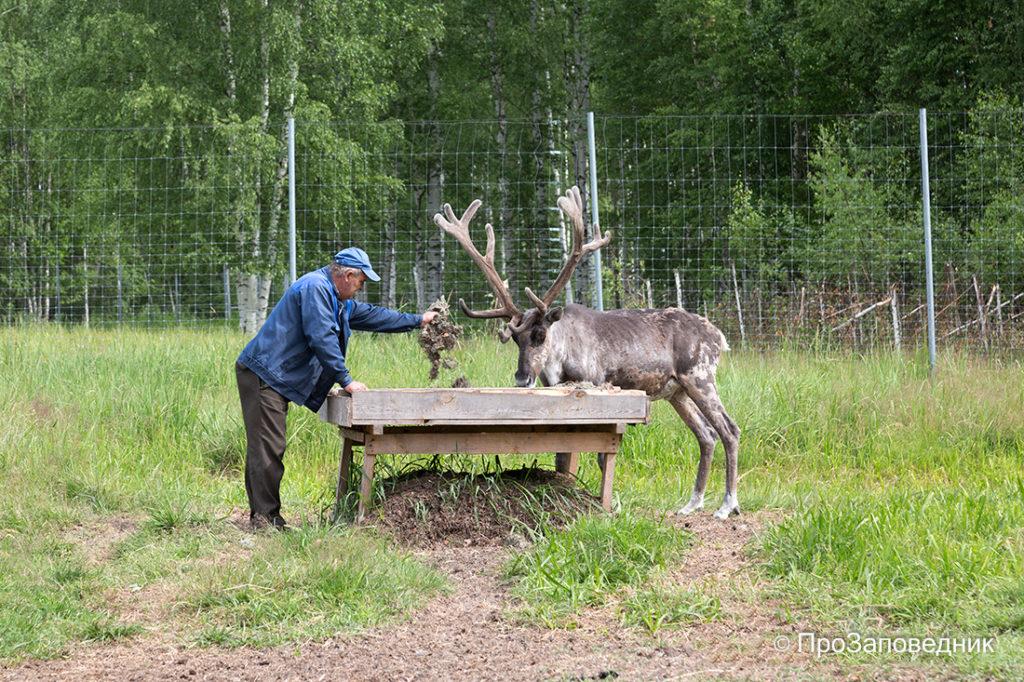 Керженский заповедник. Кормление северных лесных оленей в маточном вольере