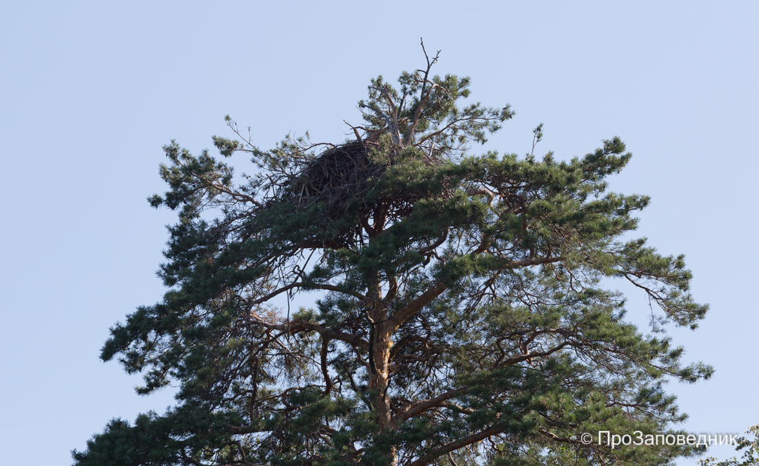 Волжско-Камский заповедник. Гнездо орлана-белохвоста