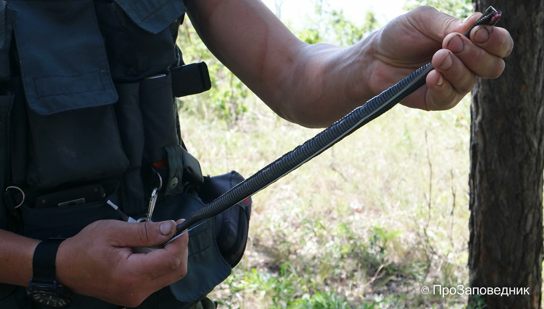 Волжско-Камский заповедник. Измерение гадюки