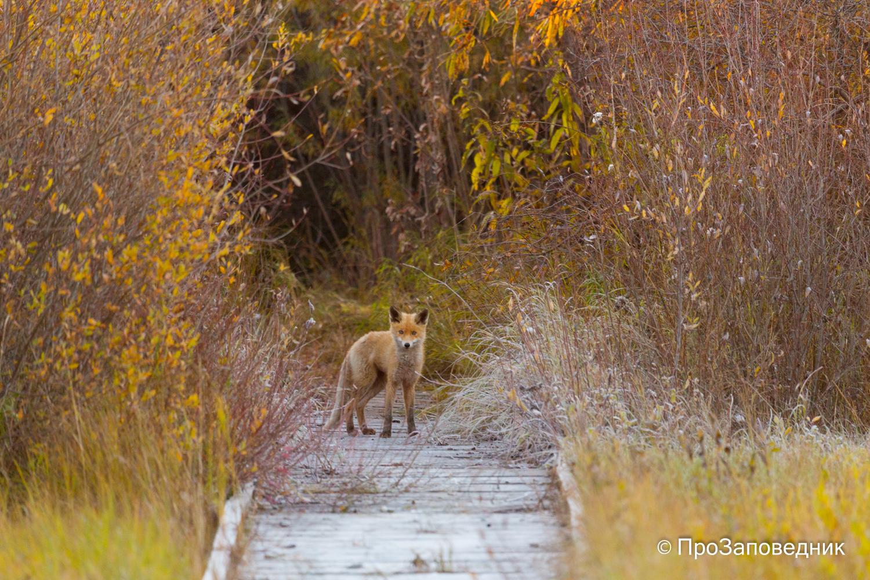Молодая  лисица