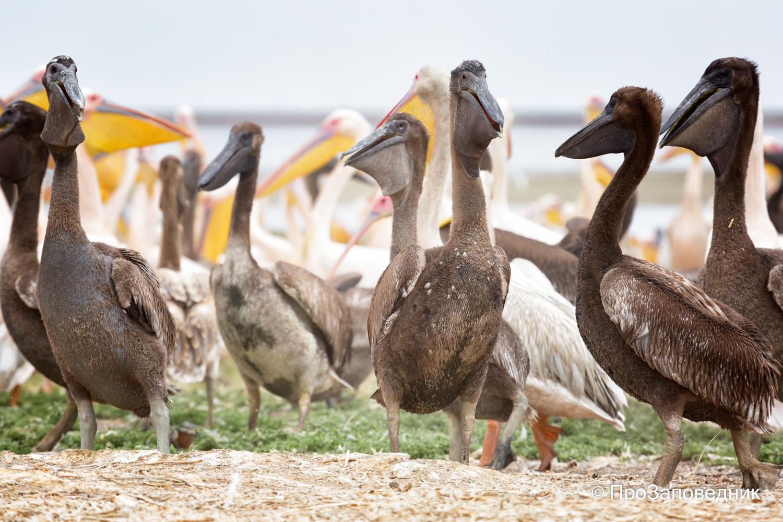 Птенцы розовых пеликанов
