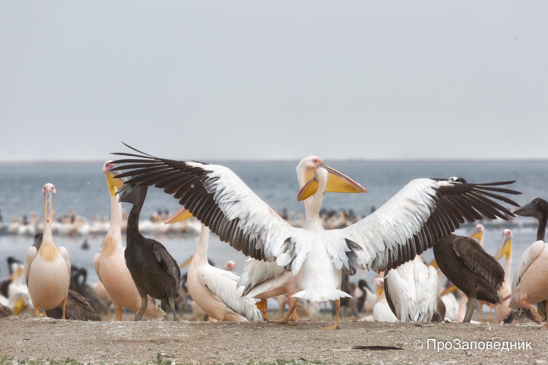 Пеликаны на озере Маныч-Гудило
