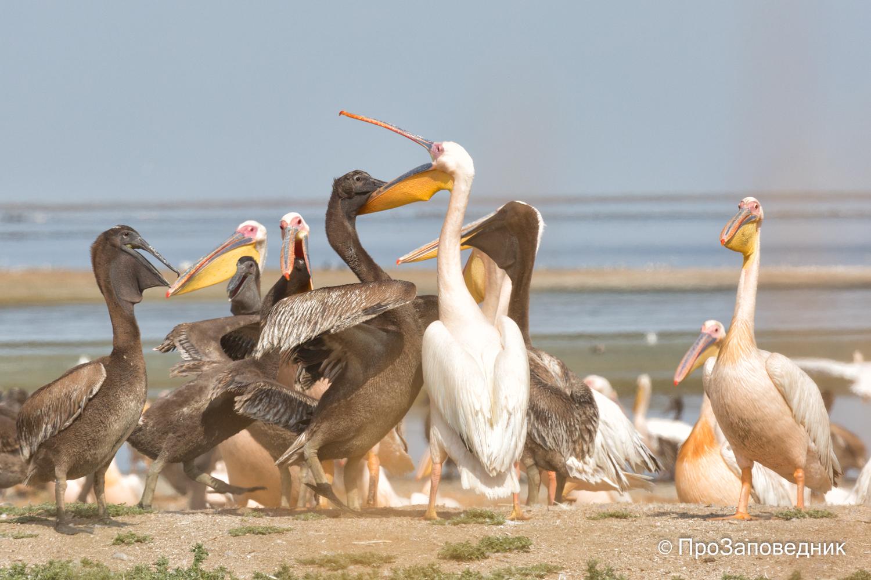 Кормление птенца розового пеликана