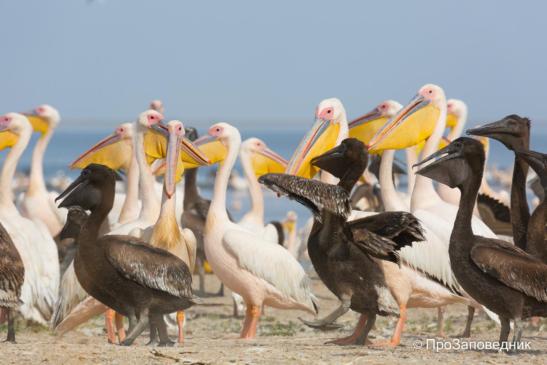 Розовые пеликаны с птенцами