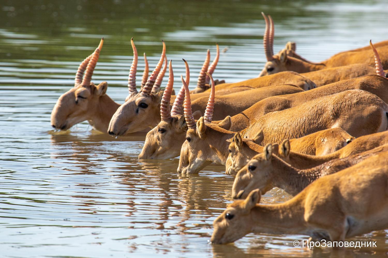 Сайгаки пьют воду на канале