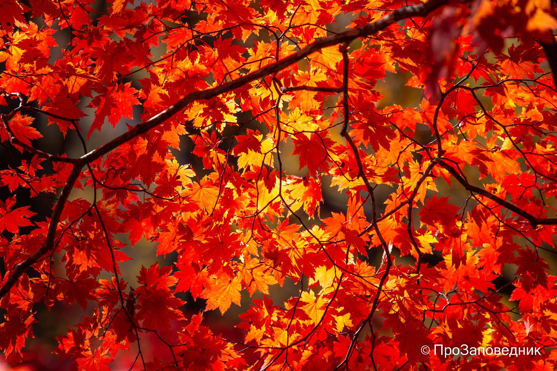 Клены осенью