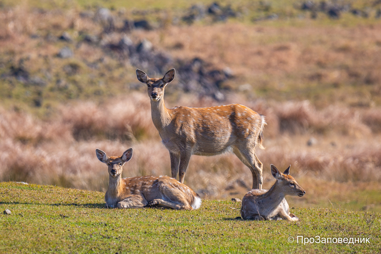 Самки пятнистого оленя
