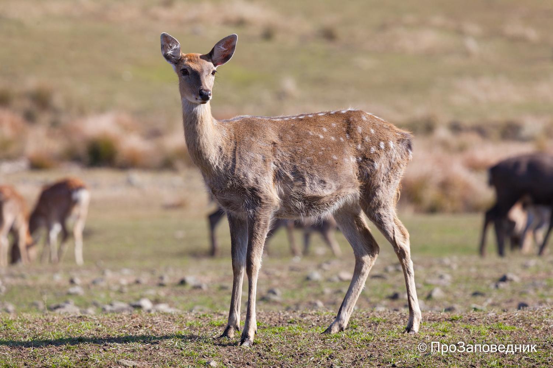 Самка пятнистого оленя