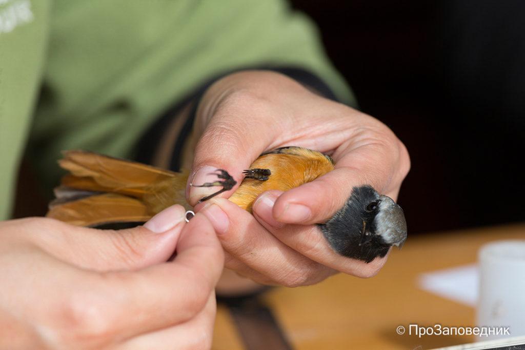 Станция кольцевания птиц Байкальская. Надевание кольца