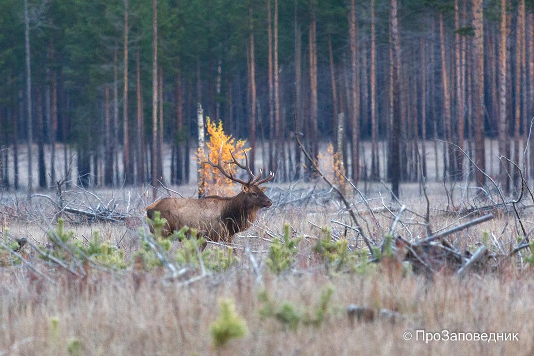 Самец изюбря в осеннем лесу. Алтачейский заказник