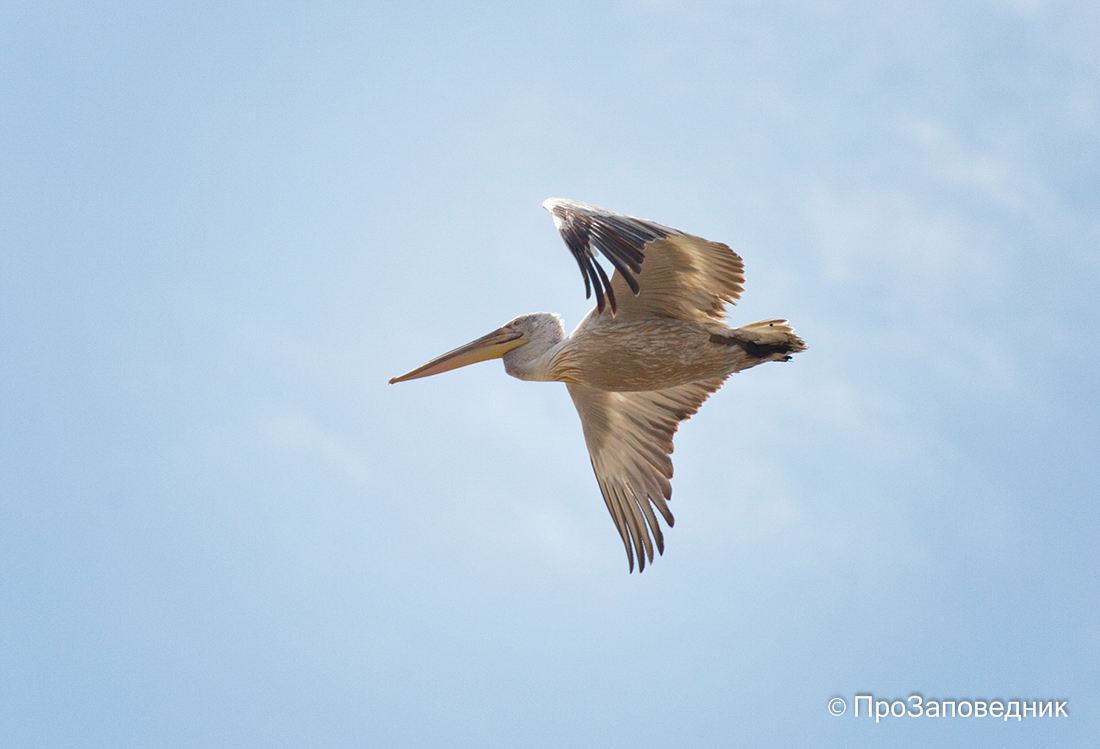 """Заповедник """"Черные земли"""" Кудрявый пеликан в полете"""