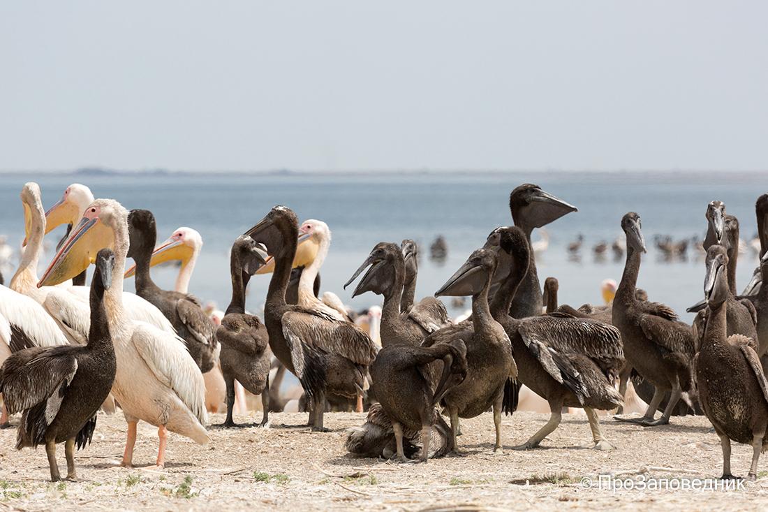 """Заповедник """"Черные земли"""". Розовые пеликаны с птенцами"""