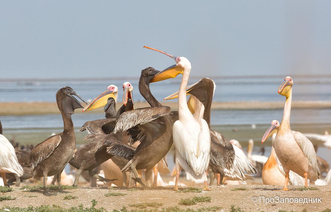 """Заповедник """"Черные земли"""". Взрослый пеликан кормит птенца"""