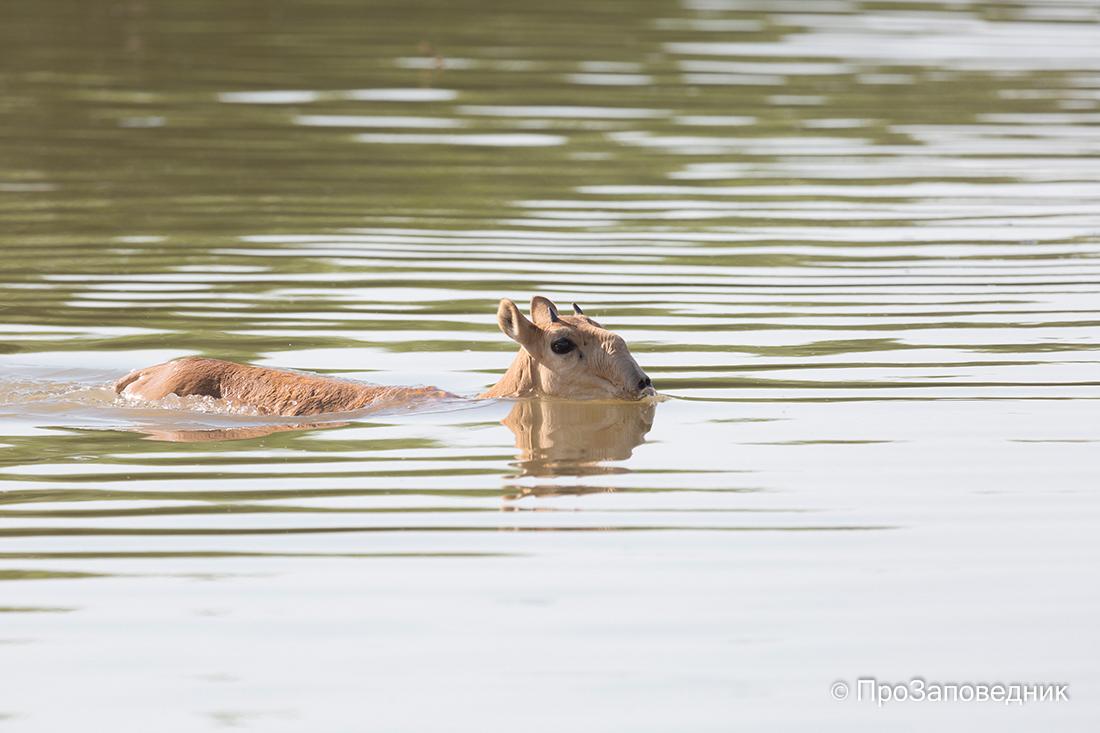 Сайгак переплывает канал