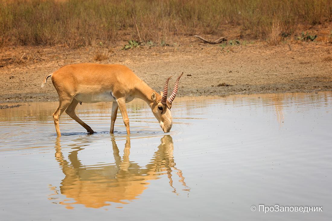Сайгак пьет воду