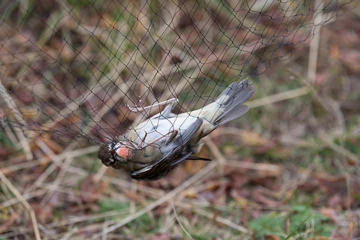 Птица в ловушке-паутине