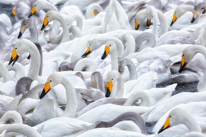 """Заказник """"Лебединый"""" . Лебединое озеро Алтая"""