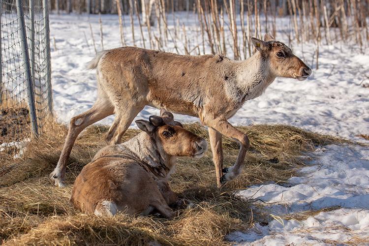 Северные лесные олени. Керженский заповедник