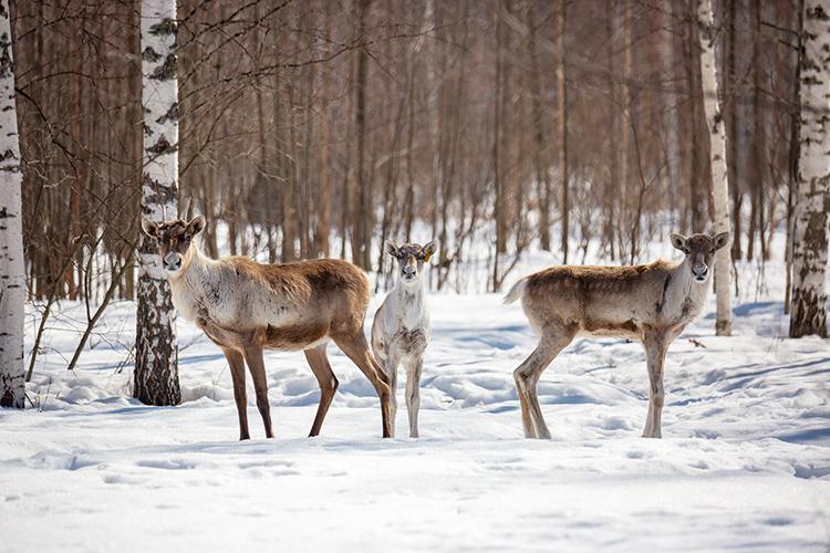 Лесные северные олени