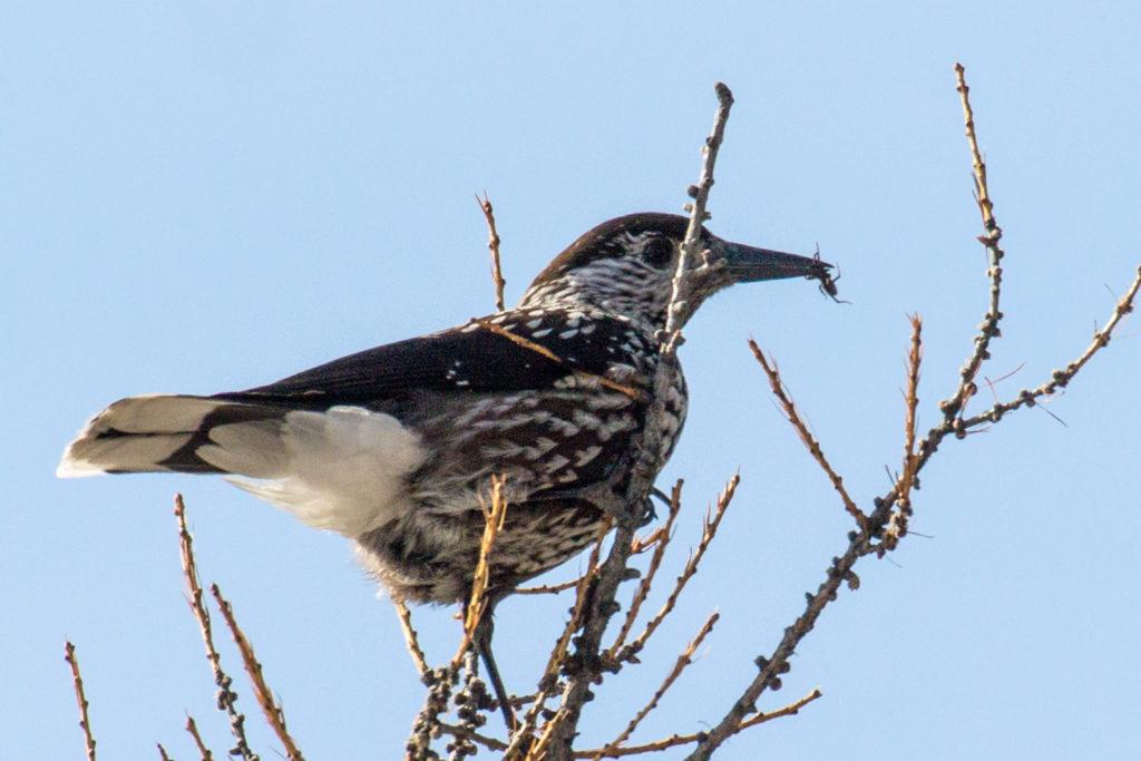 Кедровка. О «пернатом лесоводе» Саяно-Шушенского заповедника в Международный день птиц