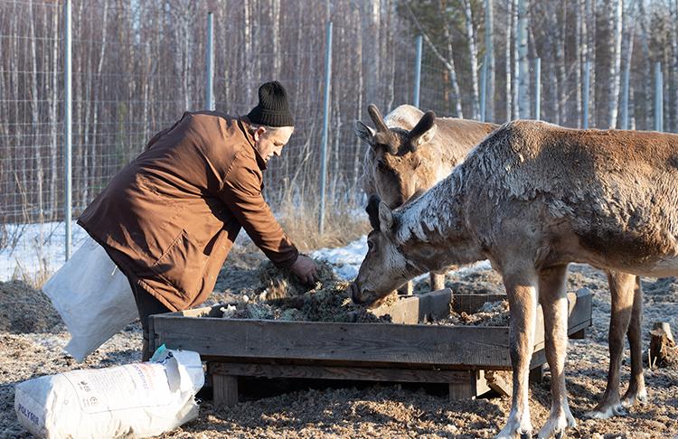 Кормление оленей в маточном вольере заповедника