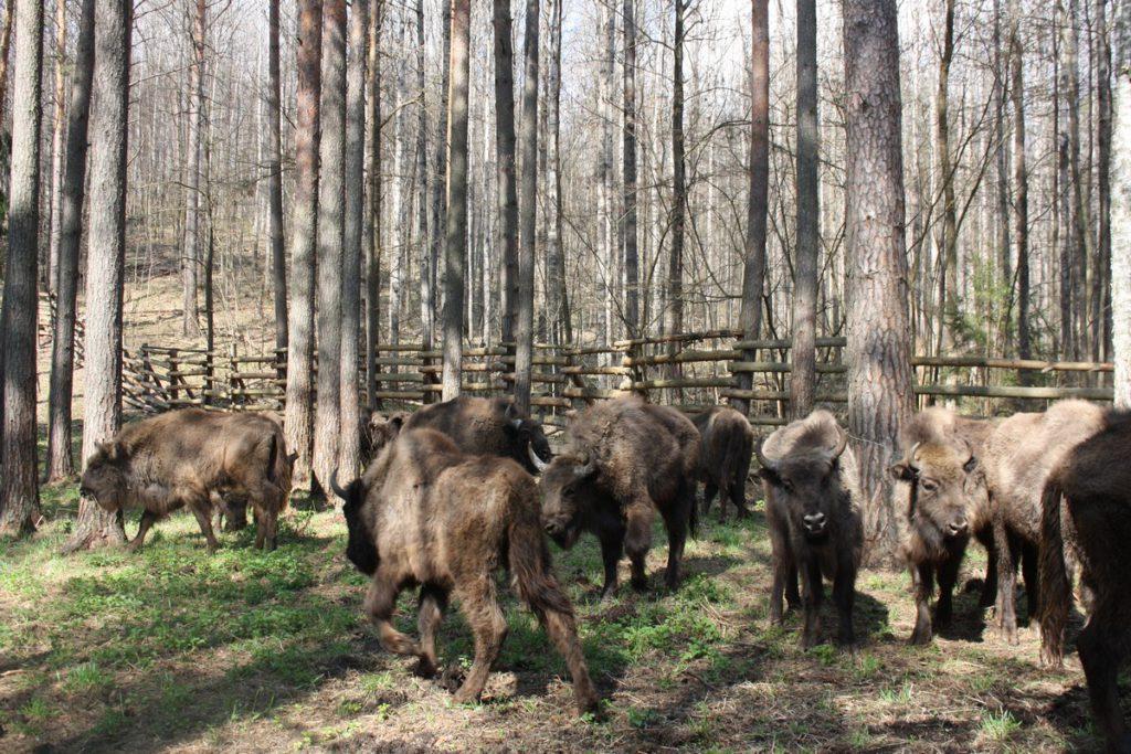Шесть зубров из Окского заповедника переехали в Калужскую область