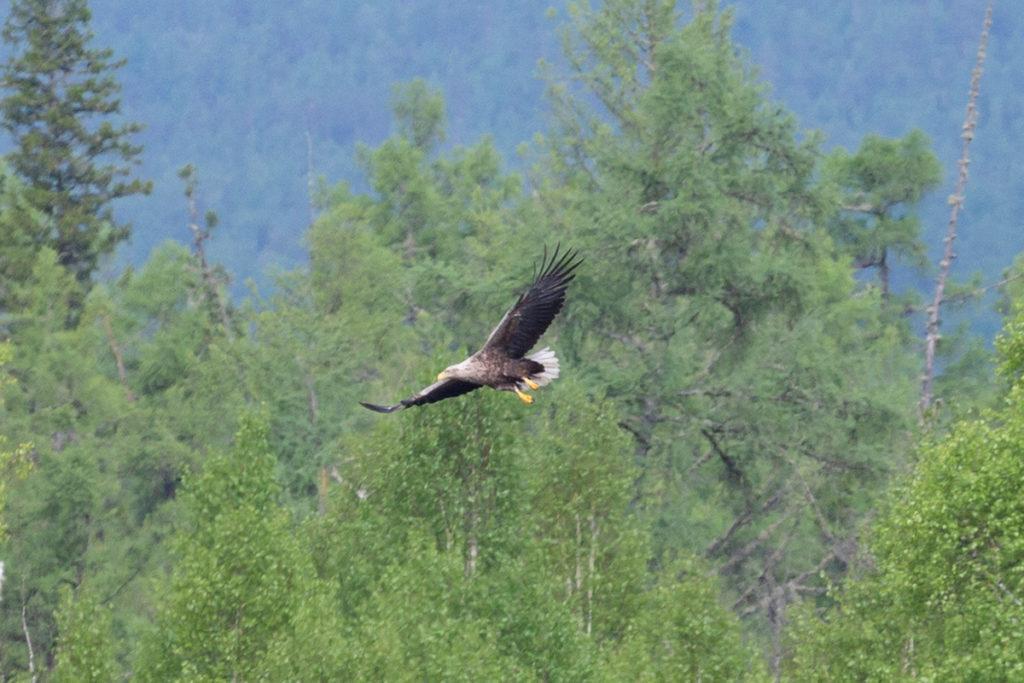 """Орлан-белохвост. Птицы национального парка """"Тункинский"""""""