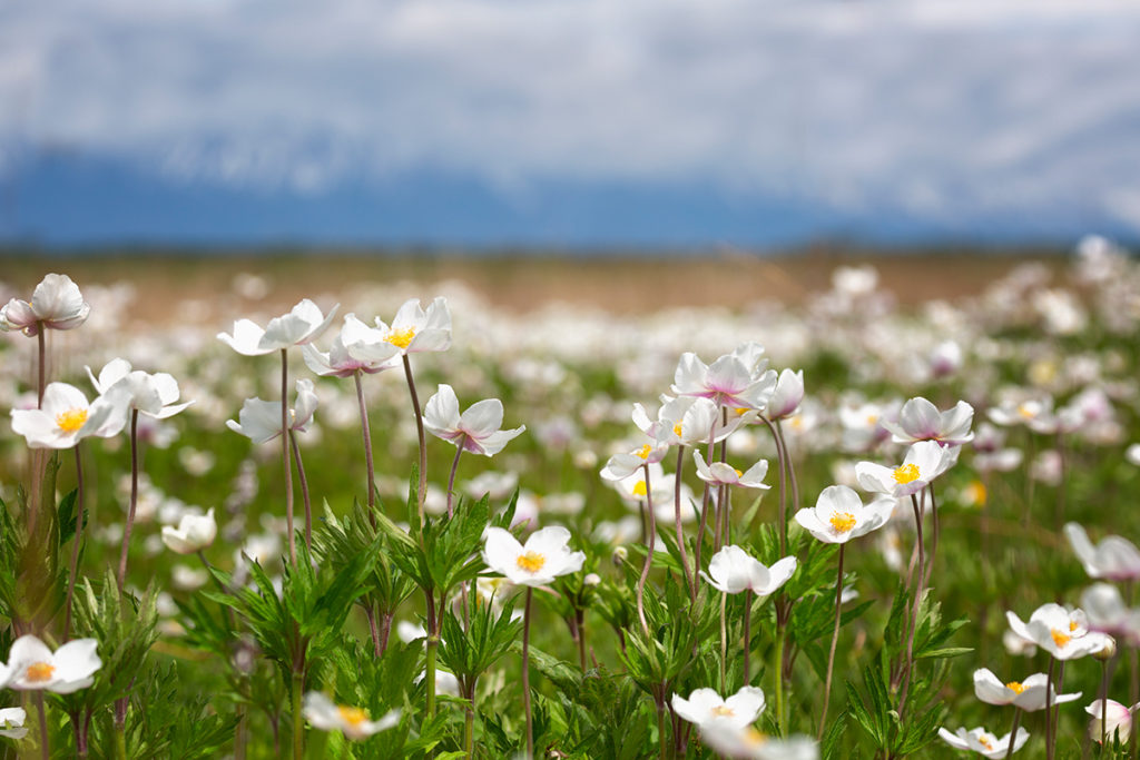 цветение ветреницы полевой в Тункинской долине
