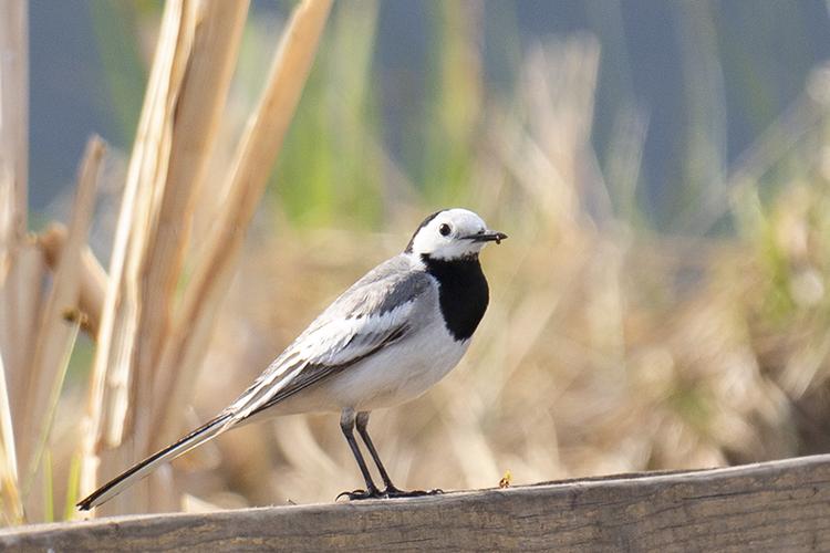 """Белая трясогузка. Птицы национального парка """"Тункинский"""""""