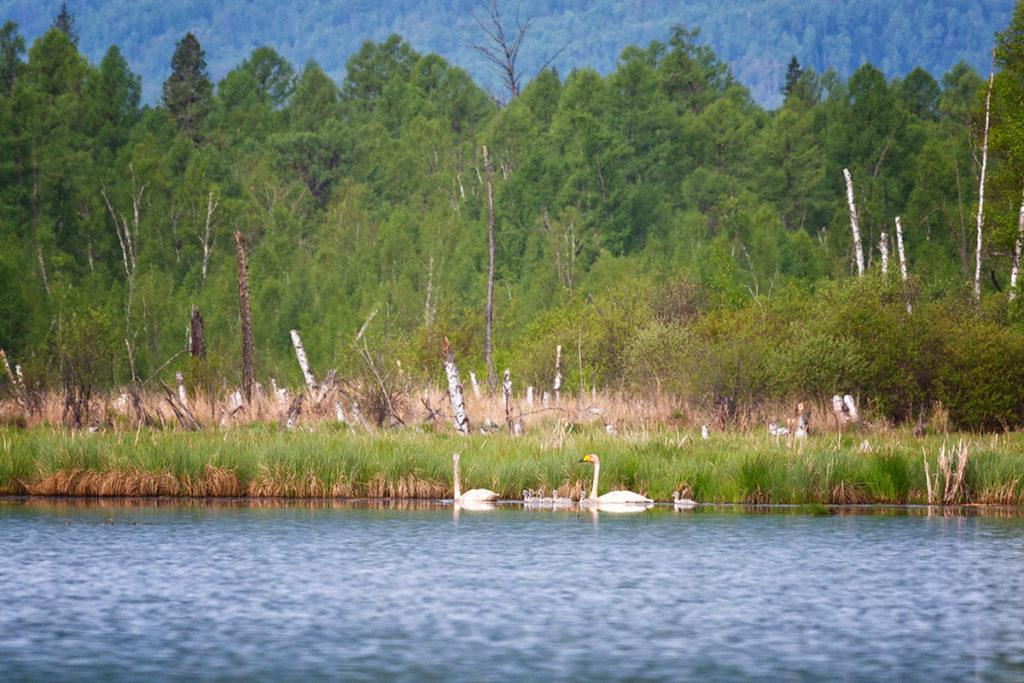 Лебеди-кликуны на озере Енгарга